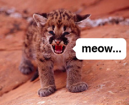 Baby cougar meowing